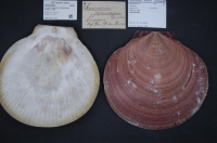 "Amusium du Japon. (fichier Commons : ""Naturalis_Biodiversity_Center...10751_-_Amusium_japonicum_taiwanense_Dijkstra_1988_Pectinidae_Mollusc_shell"") - licence CC-BY-SA 1.0 (https://creativecommons.org/licenses/by-sa/1.0/) Hansmuller, Zoölogical Museum Amsterdam, 2015"
