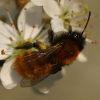 "Andrène rousse. (fichier Commons : ""600px-Andrena_fulva0023"") - licence CC-BY-SA 3.0 (https://creativecommons.org/licenses/by-sa/3.0/) Andersson Martin, 2011"