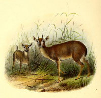 "Antilope musquée ou suni. (fichier Commons : ""The_book_of_antelopes_(1894)_Nesotragus_moschatus"") (domaine public) Sclater Phillip Lutley, 1829-1913, The Book of Antelopes, 1894"