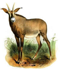 "Antilope rouanne ou hippotrague rouan. (fichier Commons : ""515px-HippotragusEquinusSmit"") (domaine public) Smit Joseph (1836-1929), Proc. of the Zool. Society of London, 1869"