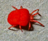 "Un aoûtat (<em>Trombicula automnalis</em>) adulte. (fichier Wikimedia Commons : ""Trombicula-autumnalis-adult-mite"") - licence CC-BY-SA 4.0 (https://creativecommons.org/licenses/by-sa/4.0//deed.fr) Walker Alan R., 2006"