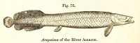 "Arapaïma, paiche, ou picarucu (<em>Arapaima gigas)</em> de l'Amazone. In ""Guide to the galleries of reptiles and fishes of the British Museum"". (fichier Wikimedia Commons : ""ArapaimaImg"") (domaine public) Flower W. H., 1898"