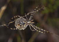 "Argiope lobée femelle, vue ventrale. (fichier Commons : ""Argiope_lobata,_female__Villeveyrac_01"") - licence CC-BY-SA 4.0 (https://creativecommons.org/licenses/by-sa/4.0/) Ferrer Christian, 2015"
