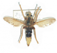 "Asile frelon. (fichier Commons : ""649px-Asiluscrabroniformis"") - licence CC-BY-SA 3.0 (https://creativecommons.org/licenses/by-sa/3.0/) Notafly, 2008"
