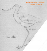 Avocette. Meyer Christian