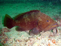 "Badèche, mérou rayé,  mérou à museau pointu (<em>Epinephelus costae</em>). (fichier Wikimedia Commons : ""Epinephelus_costae2"") - licence CC-BY-SA 2.5 (https://creativecommons.org/licenses/by-sa/2.5//deed.fr) Martín Fernando Herranz, 2005"