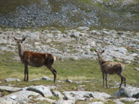 "Cerf commun : une biche et un faon. (fichier Commons : ""Red_deer_-_geograph.org.uk_-_931053"") - licence CC-BY-SA 2.0 (https://creativecommons.org/licenses/by-sa/2.0/) Callum Black, 2008"