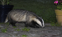 "Blaireau eurasiatique, <em>Meles meles</em>. (fichier Commons : ""800px-Badger_25-07-09"") - licence CC-BY-SA 2.0 (https://creativecommons.org/licenses/by-sa/2.0/) P. Chris., 2009"