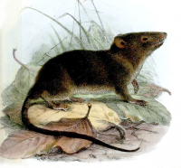 "Musaraigne marsupiale soyeuse = cénolestidé de l'Equateur (<em>Caenolestes fuliginosus</em>). In Proceedings of the Zoological Society of London. (fichier Wikimedia Commons : ""HyracodonFuliginosusWolf2"") Wolf Joseph, 1863 (domaine public)"
