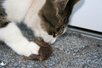 "Carnivore : chat mangeant une souris. (fichier Commons : ""Cat_eating_mouse"") - licence CC-BY-SA 3.0 (https://creativecommons.org/licenses/by-sa/3.0/) Köster Fabian, 2005"