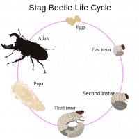"Cerf-volant, cycle : eggs = oeufs, First instar = Larve 1 (L1), Second instar = L2, Third instar = L3, Pupe ; Adulte. (fichier Commons : ""Life_cycle_of_stag_beetle"") - licence  (https://creativecommons.org/licenses/by-sa/3.0/) Bugboy52.40, 2011"