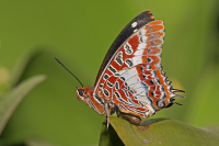 "<em>Charaxes brutus natalensis,</em> à Dar es Salaam, Tanzanie. (fichier Wiki Commons : ""Charaxes_brutus_natalensis"") (https://commons.wikimedia.org/wiki/Commons:GNU_Free_Documentation_License,_version_1.2) DP-_GNU1-2 Karim Muhammad Mahdi, 2009 - licence GNU Free Documentation License"