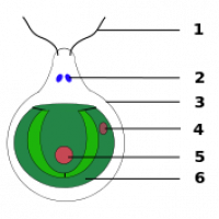 "Chlamydomonas, algue verte. 1. Flagelle  2. Vacuole 3. Paroi cellulaire 4.    Stigma 5. Noyau 6. Chloroplaste. (fichier Commons : ""Chlamydomonas.svg"") - licence CC-BY-SA 3.0 (https://creativecommons.org/licenses/by-sa/3.0/) Sundance Raphael, 2007"