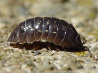 "Cloporte commun. (fichier Commons : ""Armadillidium_vulgare_001"") - licence CC-BY-SA 3.0 (https://creativecommons.org/licenses/by-sa/3.0/) Folini Franco, 2006"