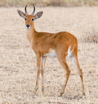 "Cobe de roseaux du Nord ou bohor, <em>Redunca redunca.</em> (fichier Commons : ""561px-2009-reedbuck"") - licence CC-BY-SA 3.0 (https://creativecommons.org/licenses/by-sa/3.0/) Krishnappa Yathin S., 2009"