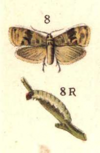 "Cochylis. (fichier Commons : ""Eupoecilia_ambiguella_ugglan"") (domaine public) Bibliographisches Institut Leipzig, env. 1910"