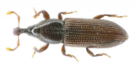 "<em>Cossonus linearis.</em> (fichier Commons : ""800px-Cossonus_linearis_above"") - licence CC-BY-SA&nbsp; 1.0, 2.0, 2.5 et 3.0&nbsp; (https://creativecommons.org/licenses/by-sa/3.0/) Siga, Allemagne, 2009"