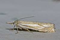 "Pyrale, crambe des buissons. (fichier Commons : ""800px-Crambus.lathoniellus.7187"") - licence CC-BY-SA 2.5 (https://creativecommons.org/licenses/by-sa/2.5/) Leillinger Olaf, 2006"