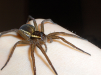 "Dolomède entourée (<em>Dolomedes fimbriatus</em>) sur une main. (fichier Commons : ""Raft_spider_on_hand"") - licence CC-BY-SA 3.0 (https://creativecommons.org/licenses/by-sa/3.0/) Matylla Katarzyna, 2006"