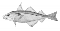 "Églefin. (fichier Commons : ""Melanogrammus_aeglefinus.jpg"") (domaine public) Todd H. L., The Fisheries and Fishery Industries of the United States, 1884"