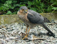 "Épervier. (fichier Commons : ""Accipiter_nisus_kill.jpg"") - licence CC-BY-SA 2.0 (https://creativecommons.org/licenses/by-sa/2.0/deed.en) Eddy Van 3000, 2008"