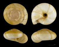 "Escargot peson ou zonite peson. (fichier Commons : ""739px-Zonites_algirus_MHNT.ZOO.2005.0.181"") - licence CC-BY-SA 3.0 (https://creativecommons.org/licenses/by-sa/3.0/) Descouens Didier, Museum de Toulouse, 2013"