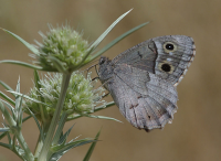 "Faune (papillon) en Turquie. (fichier Commons : ""Butterfly_Tree_Grayling_-_Hipparchia_statilinus"") - licence CC-BY-SA 3.0 (https://creativecommons.org/licenses/by-sa/3.0/) Cebeci Zeynel, 2011"