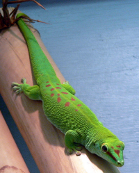 "Gecko de Madagascar. (fichier Commons : ""Phelsuma_madagascariensis_-Jacksonville_Zoo-8"") - licence CC-BY-SA 2.0 (https://creativecommons.org/licenses/by-sa/2.0/) Dodge Jay, oct. 2009"