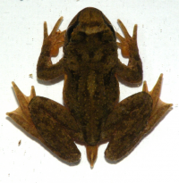 "Grenouille-à-queue côtière, <em>Ascaphus</em> <em>truei, </em>mâle. (fichier Wikimedia Commons : ""Ascaphus_truei_web"") - licence CC-BY-SA 3.0 (https://creativecommons.org/licenses/by-sa/3.0/) Mokele, 1er mars 2010"