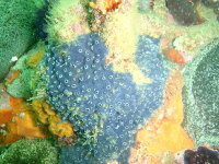 "<em>Haliclona stilensis</em>, Gordon's Bay, Afrique du Sud. (fichier Wikimedia Commons : ""Sponge_at_Lorry_Bay_PB012041"") - licence CC-BY-SA 3.0 (https://creativecommons.org/licenses/by-sa/3.0/) Southwood Peter, 2008"
