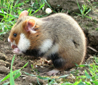 "Hamster commun. (fichier Commons : ""691px-C.cricetus_Lublin1"") - licence CC-BY-SA 3.0 (https://creativecommons.org/licenses/by-sa/3.0/) Szeląg Agnieszka, 2010"