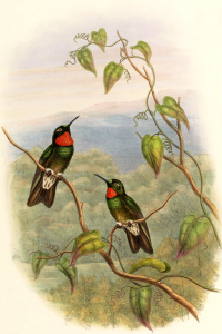 "Héliange menu. In Gould John: A monograph of the Trochilidae, or family of humming-birds (1880). (fichier Wikimedia Commons : ""Heliangelus_micraster"") (domaine public) Hart William Matthew (1830–1908), 1880"