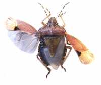 "Hémiptère, ailes de punaise puante, <em>Dolycoris baccarum</em>. (fichier Commons : ""713px-Dolycoris_baccarum_wings"") - licence CC-BY-SA 3.0 (https://creativecommons.org/licenses/by-sa/3.0/) Siga, 2007"