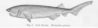 "<em>Hexanchus griseus.</em> In Fishes of North Carolina, University of Washington, FMIB (fichier Wikimedia Commons : ""FMIB_51329_Cow_Shark_Hexanchus_griseus"") (domaine public) Smith Hugh M., 1907"
