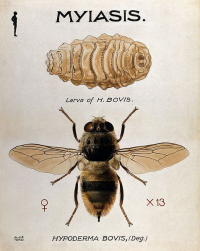 "Hypoderme du bœuf, adulte femelle et larve.  (fichier Commons : ""The_larva_and_fly_of_the_ox_warble-fly_(Hypoderma_bovis)._Co_Wellcome"") - licence CC-BY-SA 4.0 (https://creativecommons.org/licenses/by-sa/4.0/) Terzi A. J. E., Wellcome Trust logo.svg, 2014"
