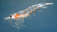 "Krill, <em>Meganyctiphanes norvegica.</em> (fichier Commons : ""Meganyctiphanes_norvegica2"") - licence CC-BY-SA 3.0 (https://creativecommons.org/licenses/by-sa/3.0/) Paulsen Øystein, MAR-ECO, 2005"