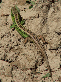 "Lézard commun mâle. (fichier Commons : ""443px-Jaszczurka_zwinka_1"") - licence CC-BY-SA 3.0 (https://creativecommons.org/licenses/by-sa/3.0/deed.en) Macieias, 2005"
