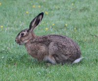 "Lièvre européen. (fichier Commons : ""729px-European_Hare_2012-07-30_5"") - licence CC-BY-SA 3.0 (https://creativecommons.org/licenses/by-sa/3.0/) Hansen Kim, Danemark, 2012"