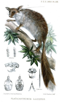"Loir épineux. (fichier Commons : ""351px-PlatacanthomysLasiurusErxleben"") (domaine public) Erxleben J., Proceedings of the Zoological Society of London, 1864"