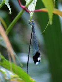 "<em>Megaloprepus caerulatus,</em> demoiselle d'hélicoptère géante. (fichier Wikimedia Commons : ""Helicopter_Damselfly_-_Flickr_-_treegrow"") - licence CC-BY-SA 2.0 (https://creativecommons.org/licenses/by-sa/2.0/) Schulz Katja, de Washington, D. C., USA, 2012"