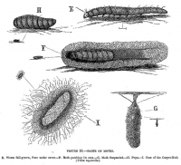"Mites, cycle : E. ver de taille maximale. F. ver dans son cocon. G. cocon suspendu. H. pupe. I. cas de la mite des tapis. (fichier Commons : ""658px-Parts_of_moths"") (domaine public) Taylor Charlotte, in"