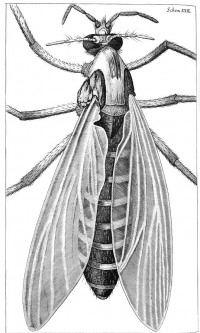 "Un moucheron femelle ( ""The great Belly'ed Gnat or female Gnat""). National Library of Wales. (fichier Wikimedia Commons : ""Hooke-gnat"") (domaine public) Hooke Robert (1635-1703), 1665"