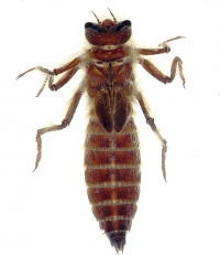 "<em>Neopetalia punctata,</em> larve. (fichier Wikimedia Commons : ""Neopetalia_punctata_larva_(1)"") - licence CC-BY-SA 3.0 (https://creativecommons.org/licenses/by-sa/3.0//deed.fr) Ware Jessica, avant 2011"
