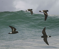 "Océanite tempête ou pétrel tempête. (fichier Commons : ""European_Storm_Petrel_from_the_Crossley_ID_Guide_Britain_and_Ireland"") - licence CC-BY-SA 3.0 (https://creativecommons.org/licenses/by-sa/3.0/) Crossley Richard,"