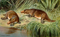 "Ornithorynques. (fichier Commons : ""Duck_billed_platypus_schnabeltier"") (domaine public) Harder Heinrich (1858-1935), The Wonderful Paleo Art, 1916 env."