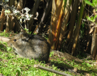 "Southern African Vlei rat (Otomys irroratus) à côté de Cyperus papyrus en Afrique du Sud. (fichier Wikimedia Commons : ""Otomys_irroratus_8231s"") - licence CC-BY-SA 3.0 (https://creativecommons.org/licenses/by-sa/3.0/) Richfield Jon, 15 août 2011"
