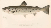 "Ouananiche (<em>Salmo salar sebago</em>), fem., dans l'état de New-York. In Freshwater and Marine Image Bank (fichier Wikimedia Commons : ""FMIB_43058_Female_Land_Locked_Salmon_or_Quananiche_(Salmo_salar_sebago_Girard)"") (domaine public) University of Washington, 1897"