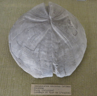 "<em>Hemipneustes oculatus</em>, oursin régulier fossile, moulage. Museum nat. d'Hist. Nat., Paris.  (fichier Wikimedia Commons : ""Hemipneustes_oculatus"") - licence CC-BY-SA 3.0 (https://creativecommons.org/licenses/by-sa/3.0//deed.fr) FredD, 2013"