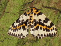 "Phalène mouchetée. (fichier Commons : ""Abraxas_grossulariata_(Magpie_Moth),_Arnhem,_the_Netherlands"") - licence CC-BY-SA 1.0 (https://creativecommons.org/licenses/by-sa/1.0/) Bj.schoenmakers, 2013"