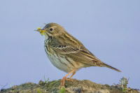 "Pipit des prés. (fichier Commons : ""Wiesenpieper_Anthus_pratensis.jpg"") - licence CC-BY-SA 2.5 (https://creativecommons.org/licenses/by-sa/2.5/deed.en) Trepte Andreas, 2014"
